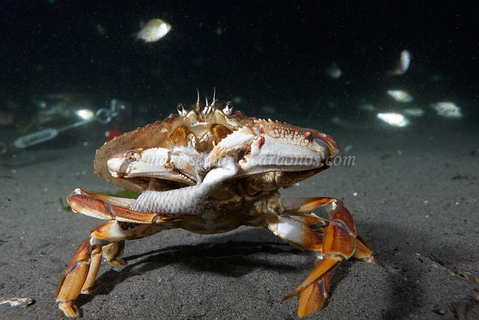 Image 1252, . Seattle, WA, United States, Matt Segal, all rights reserved worldwide.  Keywords: marine,ocean,underwater,Cancer magister,Dungeness crab,Cancridae,Decapoda,Arthropoda