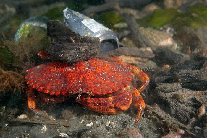 Image 1250, . Seattle, WA, United States, Matt Segal, all rights reserved worldwide.  Keywords: marine,ocean,underwater,Cancer magister,Dungeness crab,Cancridae,Decapoda,Arthropoda