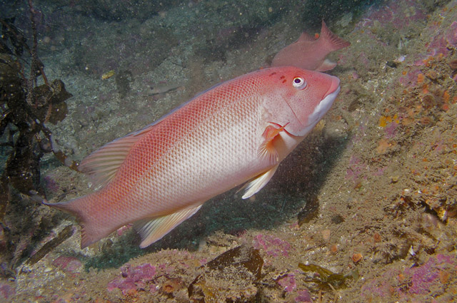 Image 335, Sheephead (Semicossyphus pulcher). Santa Cruz Island, Channel Islands, CA, United States, Matt Segal, all rights reserved worldwide.  Keywords: Sheephead, Semicossyphus pulcher