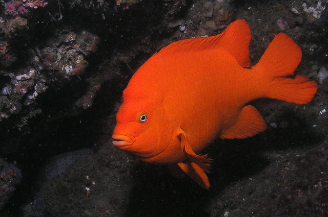 Image 331, Garibaldi (Hypsypops rubicundus). Santa Cruz Island, Channel Islands, CA, United States, Matt Segal, all rights reserved worldwide.  Keywords: Garibaldi, Hypsypops rubicundus
