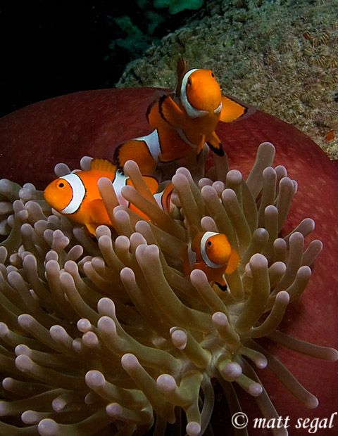 Image 98, False Clown Anemonefish (Amphiprion ocellaris). Kimbe Bay, Papua New Guinea, Matt Segal, all rights reserved worldwide.  Keywords: False Clown Anemonefish, Amphiprion ocellaris