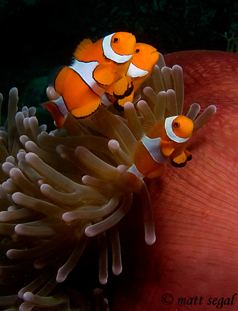 Image 100, False Clown Anemonefish (Amphiprion ocellaris). Kimbe Bay, Papua New Guinea, Matt Segal, all rights reserved worldwide.  Keywords: False Clown Anemonefish, Amphiprion ocellaris