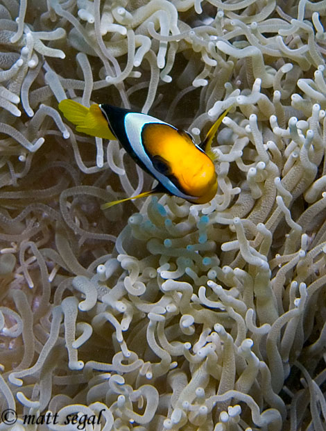 Image 96, Clark's Anemonefish (Amphiprion clarkii). Kimbe Bay, Papua New Guinea, Matt Segal, all rights reserved worldwide.  Keywords: Clark's Anemonefish, Amphiprion clarkii