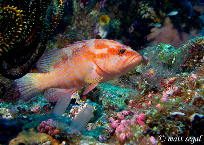 Image 89, Coral Grouper (Cephalopholis miniata). Kimbe Bay, Papua New Guinea, Matt Segal, all rights reserved worldwide.  Keywords: Coral Grouper, Cephalopholis miniata