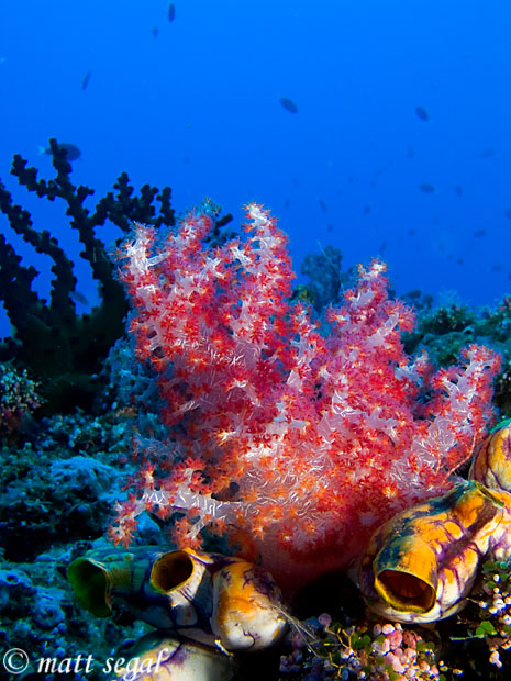 Image 85, . Kimbe Bay, Papua New Guinea, Matt Segal, all rights reserved worldwide.  Keywords: