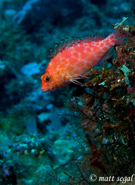 Image 84, Pixy Hawkfish (Cirrhitichthys oxycephalus). Kimbe Bay, Papua New Guinea, Matt Segal, all rights reserved worldwide.  Keywords: Pixy Hawkfish, Cirrhitichthys oxycephalus
