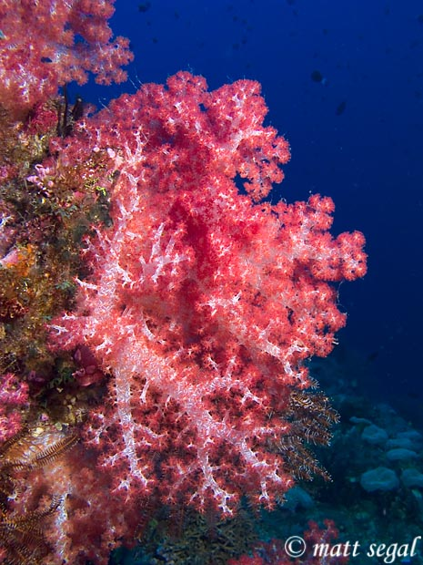 Image 81, . Kimbe Bay, Papua New Guinea, Matt Segal, all rights reserved worldwide.  Keywords: