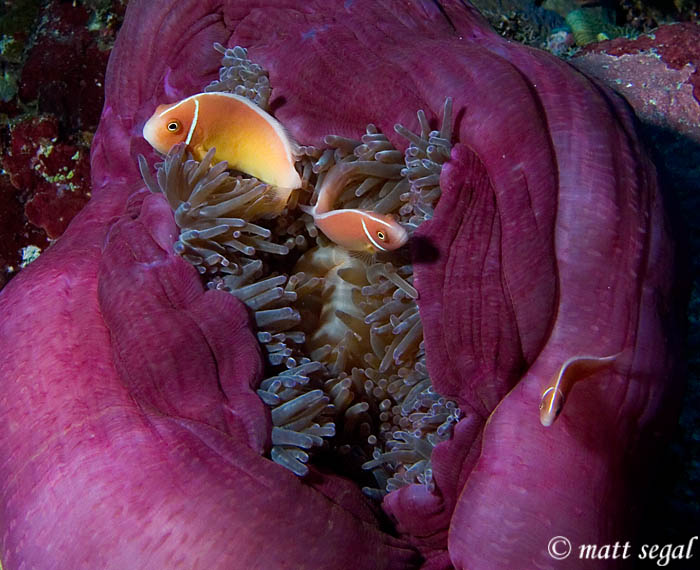 Image 59, Pink Anemonefish (Amphiprion perideraion). Kimbe Bay, Papua New Guinea, Matt Segal, all rights reserved worldwide.  Keywords: Pink Anemonefish, Amphiprion perideraion