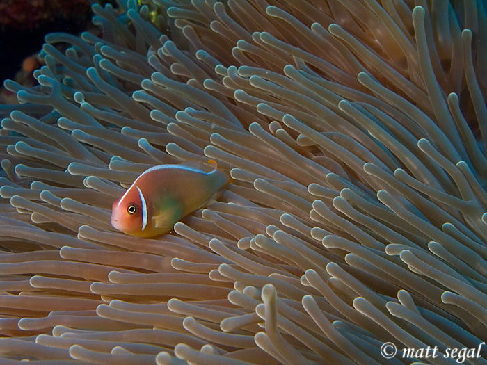 Image 42, Pink Anemonefish (Amphiprion perideraion). Kimbe Bay, Papua New Guinea, Matt Segal, all rights reserved worldwide.  Keywords: Pink Anemonefish, Amphiprion perideraion