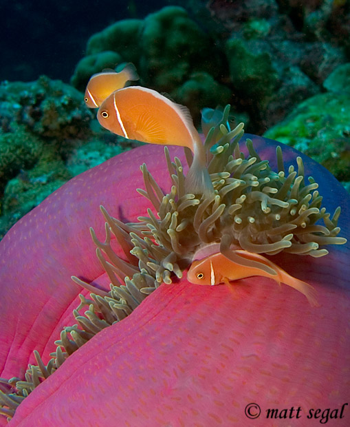 Image 44, Pink Anemonefish (Amphiprion perideraion). Kimbe Bay, Papua New Guinea, Matt Segal, all rights reserved worldwide.  Keywords: Pink Anemonefish, Amphiprion perideraion