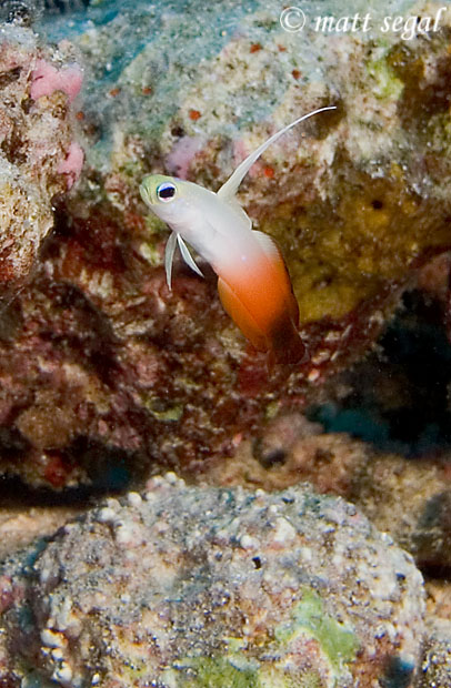 Image 479, Fire Dartfish (Nemateleotris magnifica). Maui, Hawaii, United States, Matt Segal, all rights reserved worldwide.  Keywords: Fire Dartfish, Nemateleotris magnifica