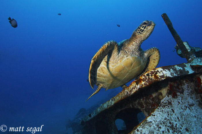 Image 880, Green Sea Turtle (Chelonia mydas). St. Anthony's Wreck, Maui, Hawaii, United States, Matt Segal, all rights reserved worldwide.  Keywords: Green Sea Turtle, Chelonia mydas