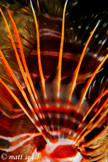 Image 867, Hawaiian Turkeyfish (Pterois sphex). Marty's Reef, Maui, Hawaii, United States, Matt Segal, all rights reserved worldwide.  Keywords: Hawaiian Turkeyfish, Pterois sphex, lionfish