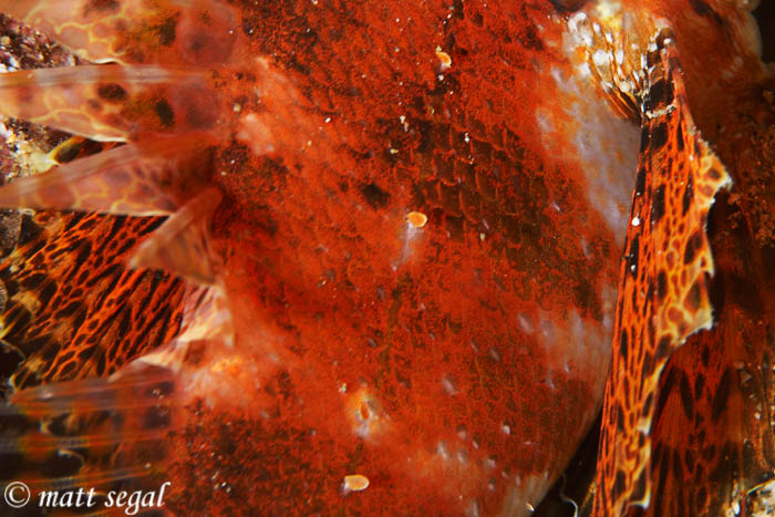 Image 865, Shortfin Lionfish - Red Variation (Dendrochirus brachypterus). Marty's Reef, Maui, Hawaii, United States, Matt Segal, all rights reserved worldwide.  Keywords: Shortfin Lionfish, Red Variation, Dendrochirus brachypterus