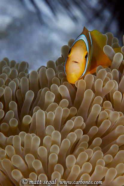 Image 890, Orange-Finned Anemonefish (Amphiprion chrysopterus). Tahaa, Society Islands, French Polynesia, Matt Segal, all rights reserved worldwide.  Keywords: Orange-Finned Anemonefish, Amphiprion chrysopterus