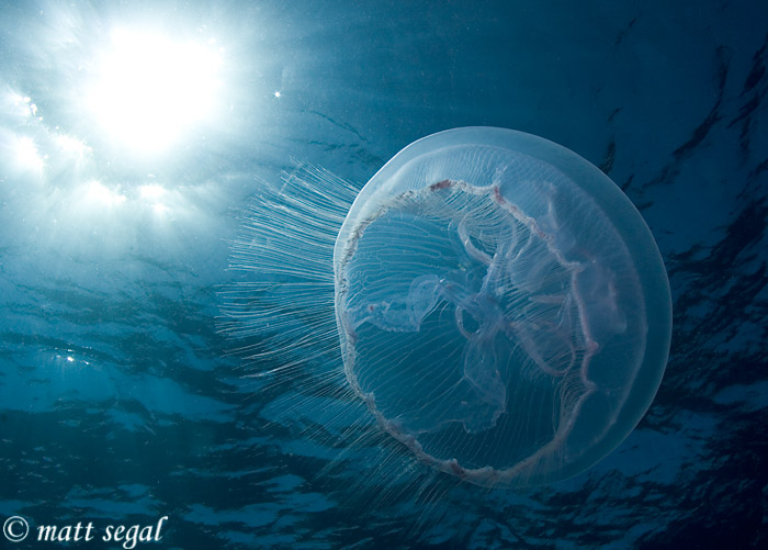 Image 2, Moon Jellyfish (Aurelia aurita). Providenciales, Turks and Caicos, Matt Segal, all rights reserved worldwide.  Keywords: Moon Jellyfish, Aurelia aurita