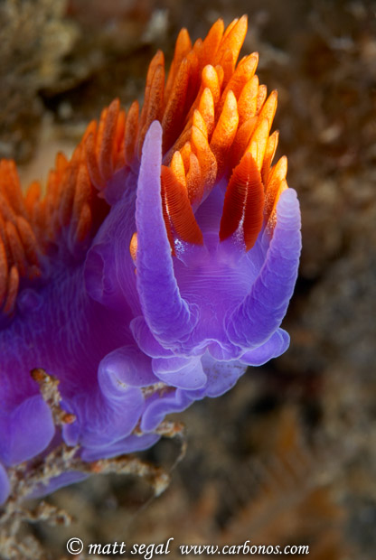 Image 926, Spanish Shawl (Flabellina iodinea) nudibranch. Anacapa Island, Channel Islands, CA, United States, Matt Segal, all rights reserved worldwide.  Keywords: Spanish Shawl, Flabellina iodinea, nudibranch