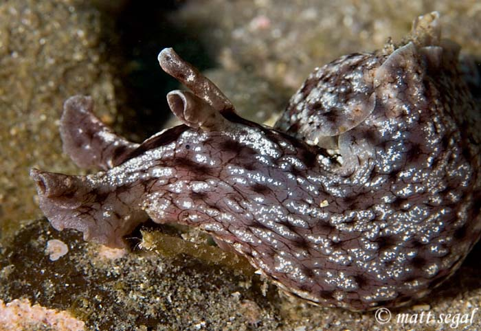 Image 493, California Sea Hare (Aplysia californica). Santa Cruz Island, Channel Islands, CA, United States, Matt Segal, all rights reserved worldwide.  Keywords: California Sea Hare, Aplysia californica