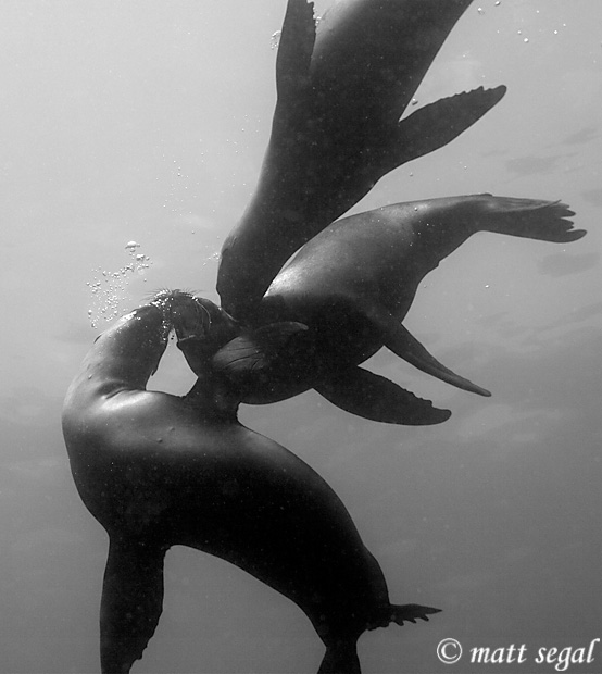 Image 520, California Sea Lion (Zalophus californianus). Anacapa Island, Channel Islands, CA, United States, Matt Segal, all rights reserved worldwide.  Keywords: California, Sea Lion, Zalophus californianus