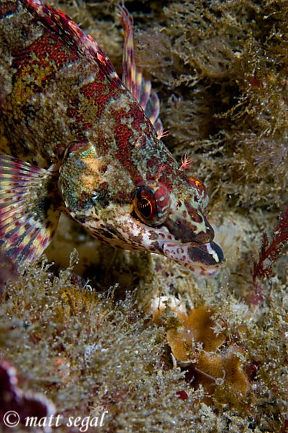 Image 526, Painted Greenling (Oxylebius pictus). Anacapa Island, Channel Islands, CA, United States, Matt Segal, all rights reserved worldwide.  Keywords: Painted Greenling, Oxylebius pictus