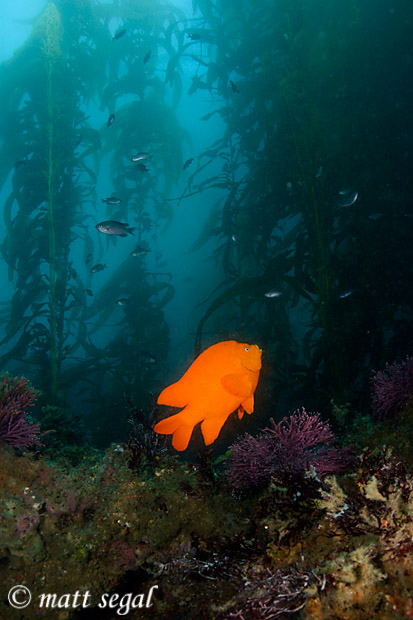 Image 541, California Garibaldi (Hypsypops rubicundus). Santa Cruz Island, Channel Islands, CA, United States, Matt Segal, all rights reserved worldwide.  Keywords: California Garibaldi, Hypsypops rubicundus