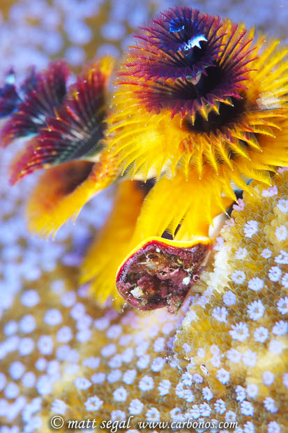 Image 960, Christmas Tree Worm (Spirobranchus giganteus) in  Porites solida coral. Mary Island, Solomon Islands, Matt Segal, all rights reserved worldwide.  Keywords: Christmas Tree Worm, Spirobranchus giganteus, Porites solida, coral