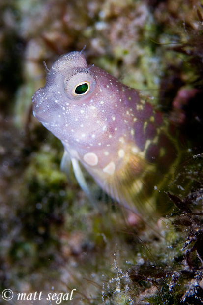 Image 608, Segmented Blenny (Salarias segmentatus). White Beach, Russell Islands, Solomon Islands, Matt Segal, all rights reserved worldwide.  Keywords: Segmented Blenny, Salarias segmentatus