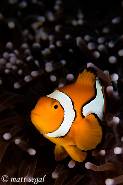 Image 603, Clown Anemonefish (Amphiprion percula). White Beach, Russell Islands, Solomon Islands, Matt Segal, all rights reserved worldwide.  Keywords: Clown Anemonefish, Amphiprion percula