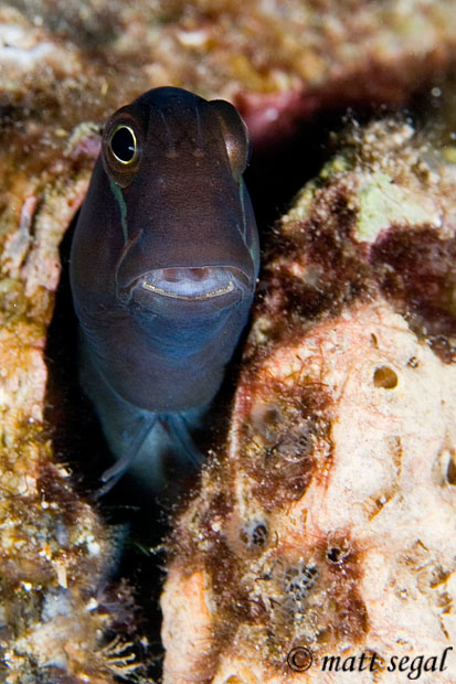 Image 602, Filamentous Blenny (Cirripectes filamentosus). White Beach, Russell Islands, Solomon Islands, Matt Segal, all rights reserved worldwide.  Keywords: Filamentous Blenny, Cirripectes filamentosus