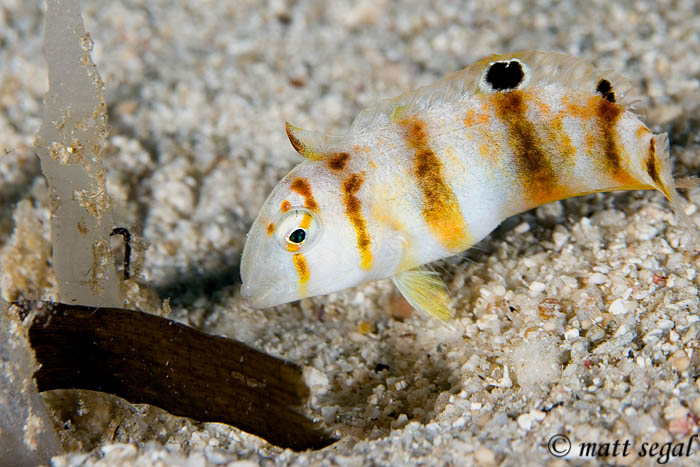 Image 593, Juvenile/Intermediate Peacock Razorfish (Iniistius pavo). Wickham Island, Marovo Lagoon, New Georgia, Solomon Islands, Matt Segal, all rights reserved worldwide.  Keywords: Juvenile/Intermediate Peacock Razorfish, Iniistius pavo
