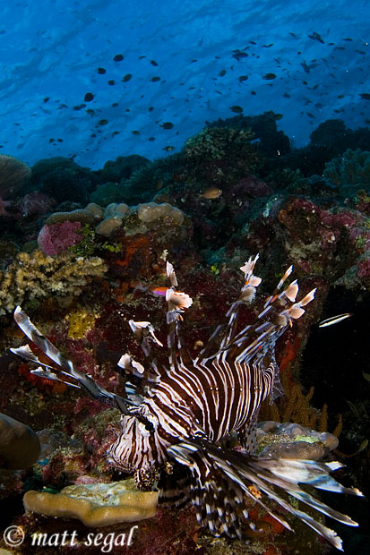 Image 577, Common Lionfish (Pterois volitans). Lagoon Point, Marovo Lagoon, New Georgia, Solomon Islands, Matt Segal, all rights reserved worldwide.  Keywords: Common Lionfish, Pterois volitans