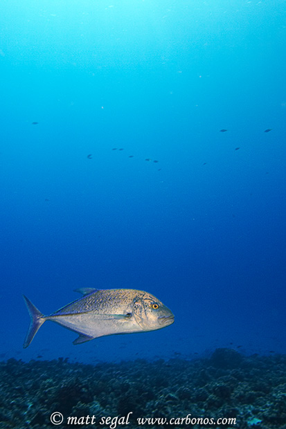 Image 1083, Bluefin Trevally (Caranx melampygus) or Giant Trevally (Caranx ignobilis). Molokini Crater, Maui, Hawaii, United States, Matt Segal, all rights reserved worldwide.  Keywords: Bluefin, Trevally, Caranx melampygus, Giant, Caranx ignobilis, jack