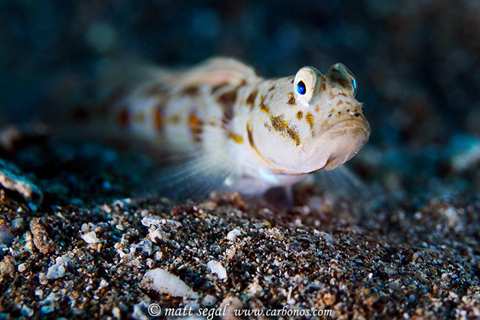 Image 1079, Hawaiian Shrimp Goby (Psilogobius mainlandi). Wailea Point, Maui, Hawaii, United States, Matt Segal, all rights reserved worldwide.  Keywords: Hawaiian Shrimp Goby, Psilogobius mainlandi