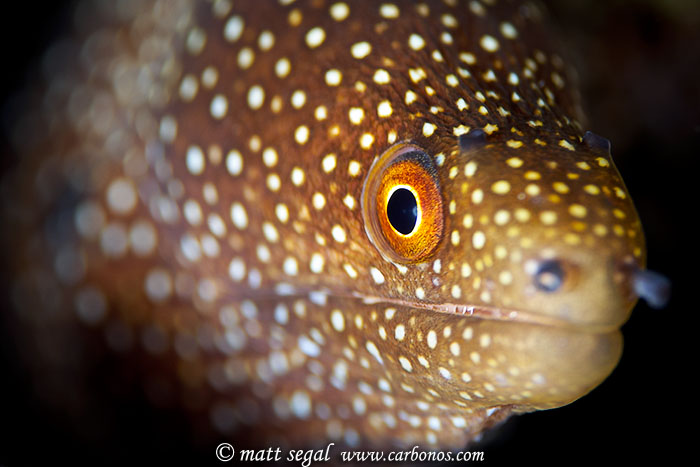 Image 1086, Whitemouth Moray (Gymnothorax meleagris). Molokini Back Wall, Maui, Hawaii, United States, Matt Segal, all rights reserved worldwide.  Keywords: Whitemouth, moray, eel, Gymnothorax meleagris
