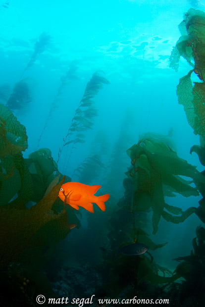 Image 1108, California Garibaldi (Hypsypops rubicundus) amid Giant Kelp (Macrocystis pyrifera). Santa Catalina Island, Channel Islands, CA, United States, Matt Segal, all rights reserved worldwide.  Keywords: California, Garibaldi, Hypsypops rubicundus, Giant, Kelp, Macrocystis pyrifera