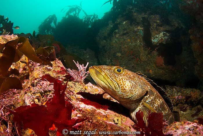 Image 1125, Lingcod (Ophiodon elongatus). Santa Rosa Island, Channel Islands, CA, United States, Matt Segal, all rights reserved worldwide.  Keywords: Lingcod, Ophiodon elongatus