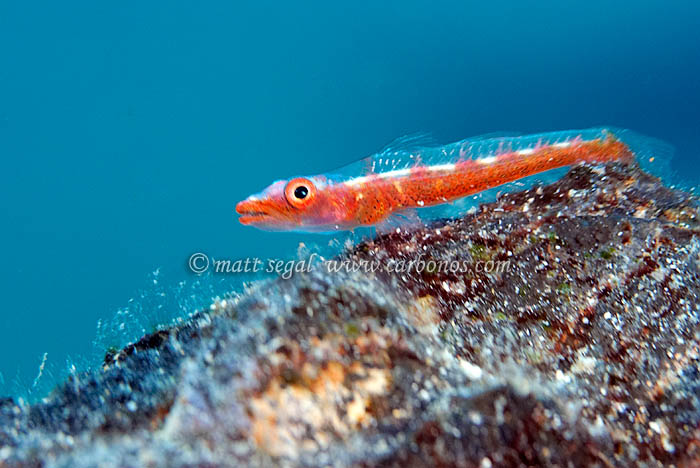 Image 1152, Whip-coral goby (Bryaninops amplus)