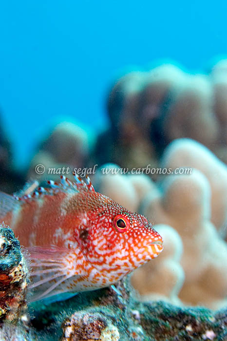 Image 1160, Red-barred Hawkfish (Cirrhitops fasciatus). Landing Craft, Maui, Hawaii, United States, Matt Segal, all rights reserved worldwide.  Keywords: red, barred, hawkfish, Cirrhitops fasciatus