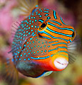 Papuan Toby (Canthigaster papua)